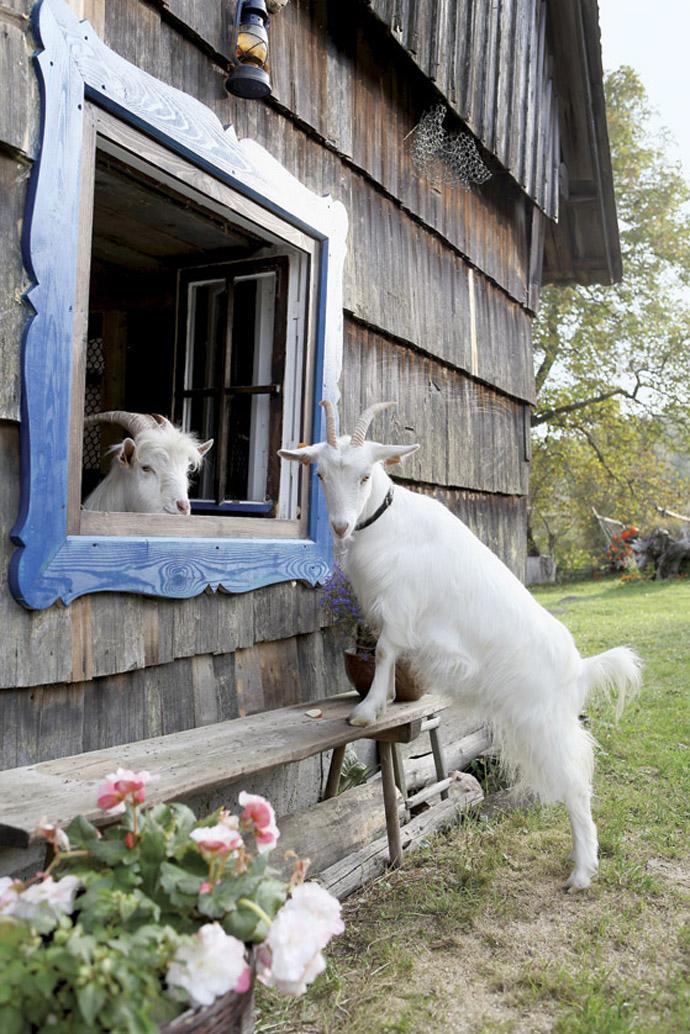 motive caprele pierd în greutate)