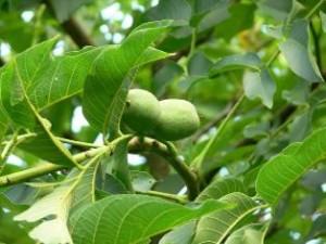 nucul - pomi_fructiferi
